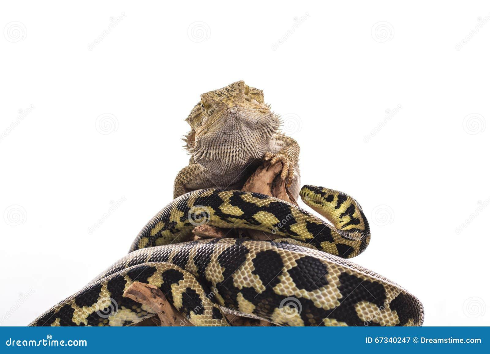 Migliori amici svegli del serpente e della lucertola su un - Immagine di lucertola a colori ...