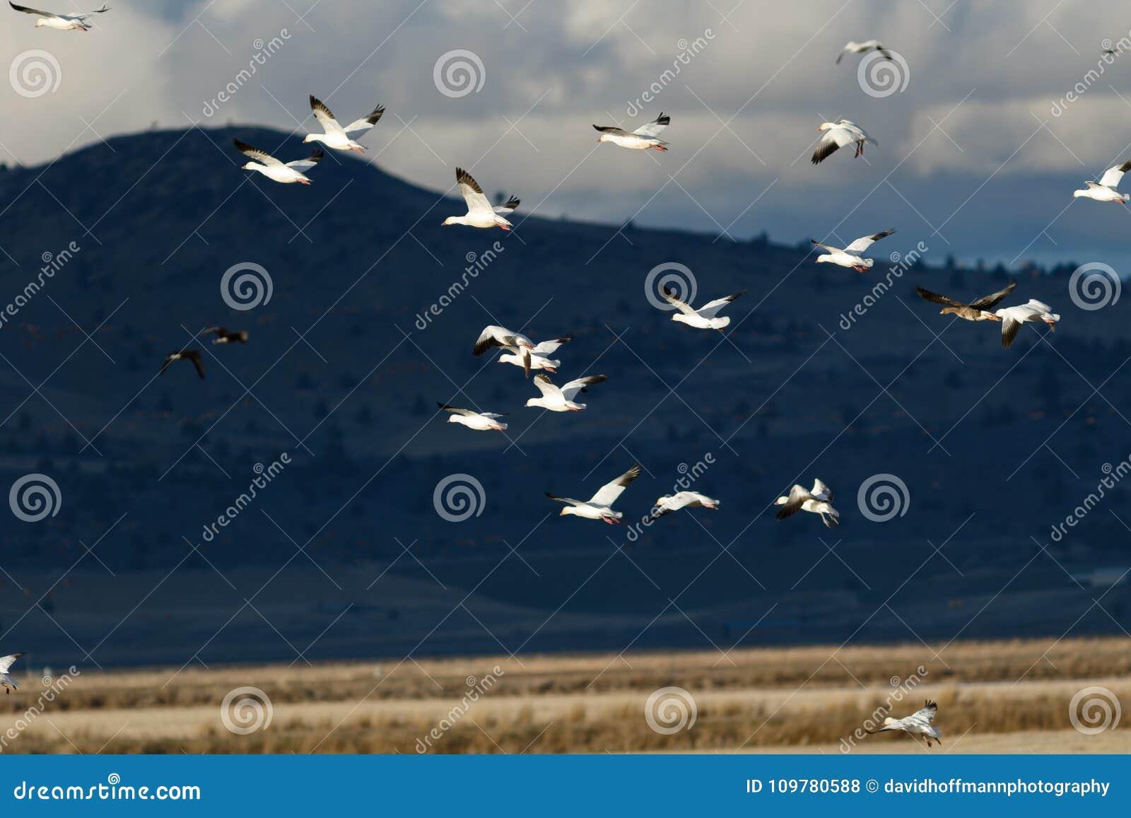 Migração dos gansos de neve