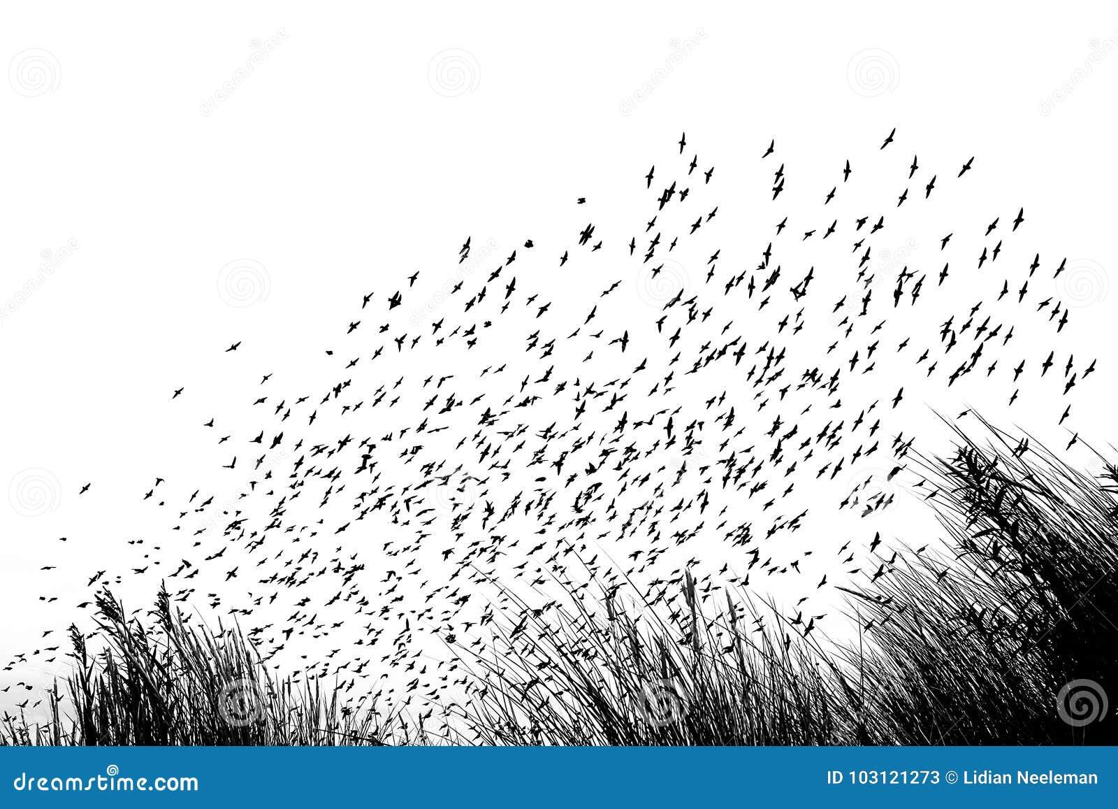 Migración de pájaro en las dunas - en blanco y la imagen blanca