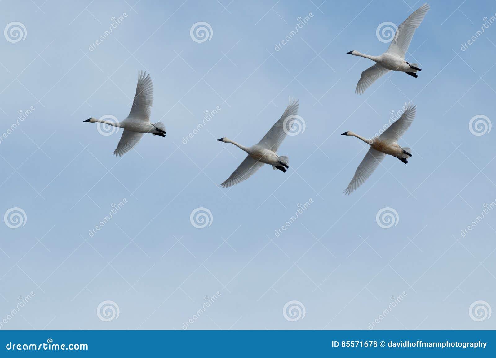 Migration de cygne de toundra