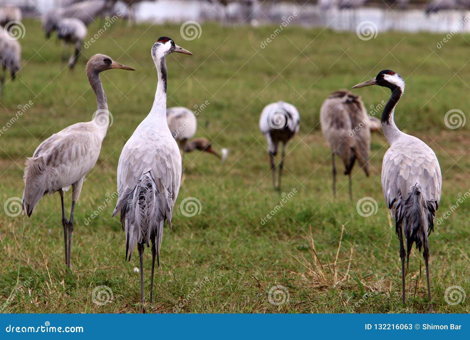 Migratory Birds In The Hula Bird Sanctuary Stock Image