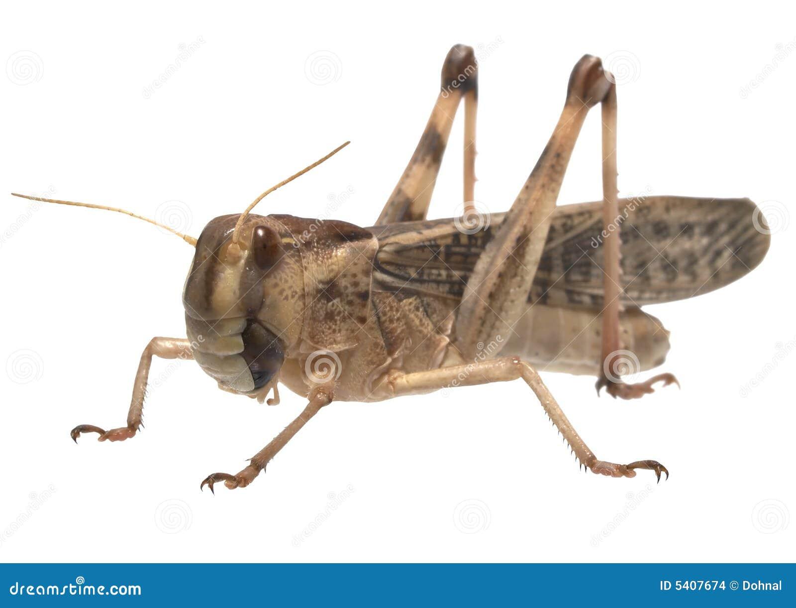Migratory locust - (Locusta migratoria)