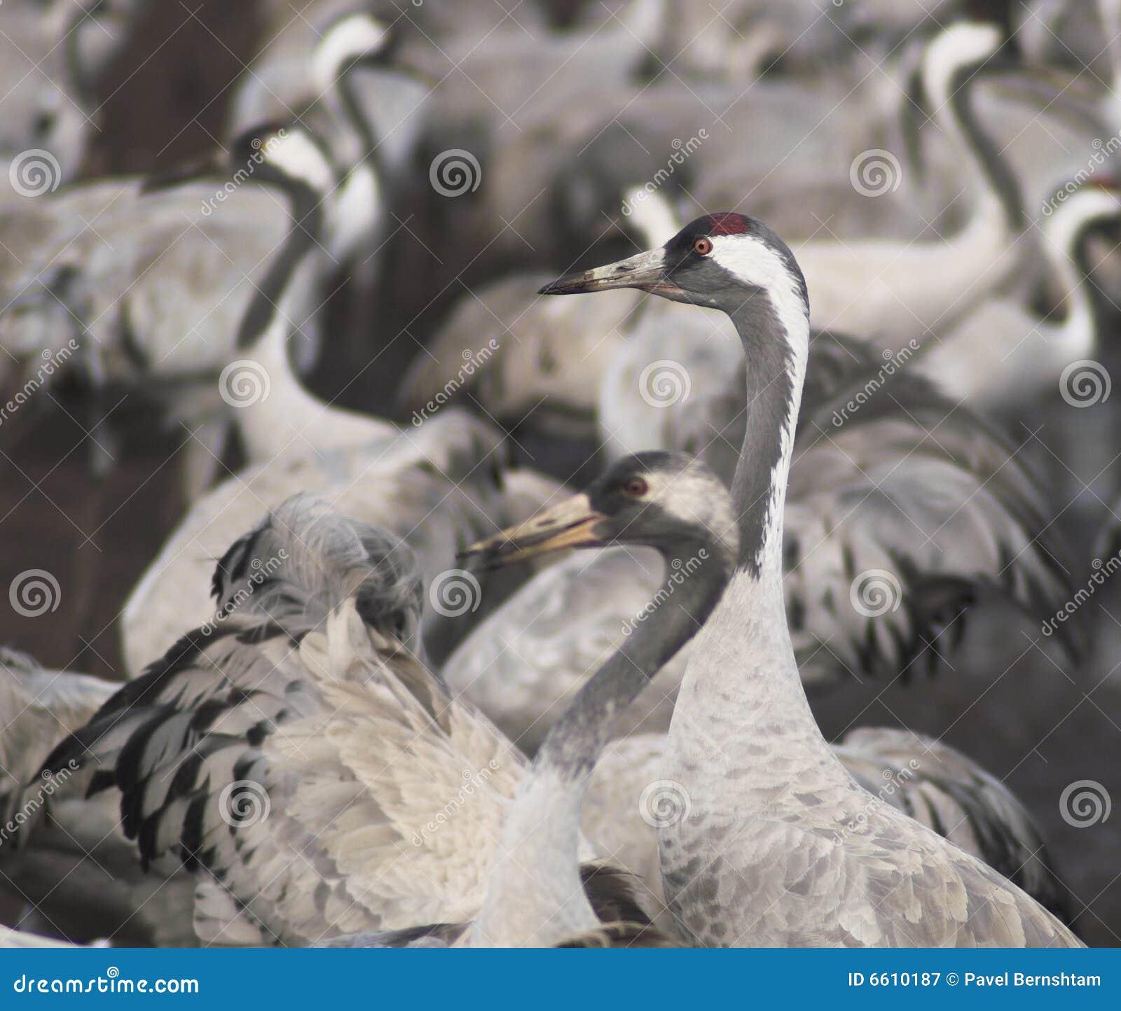 Migri degli uccelli