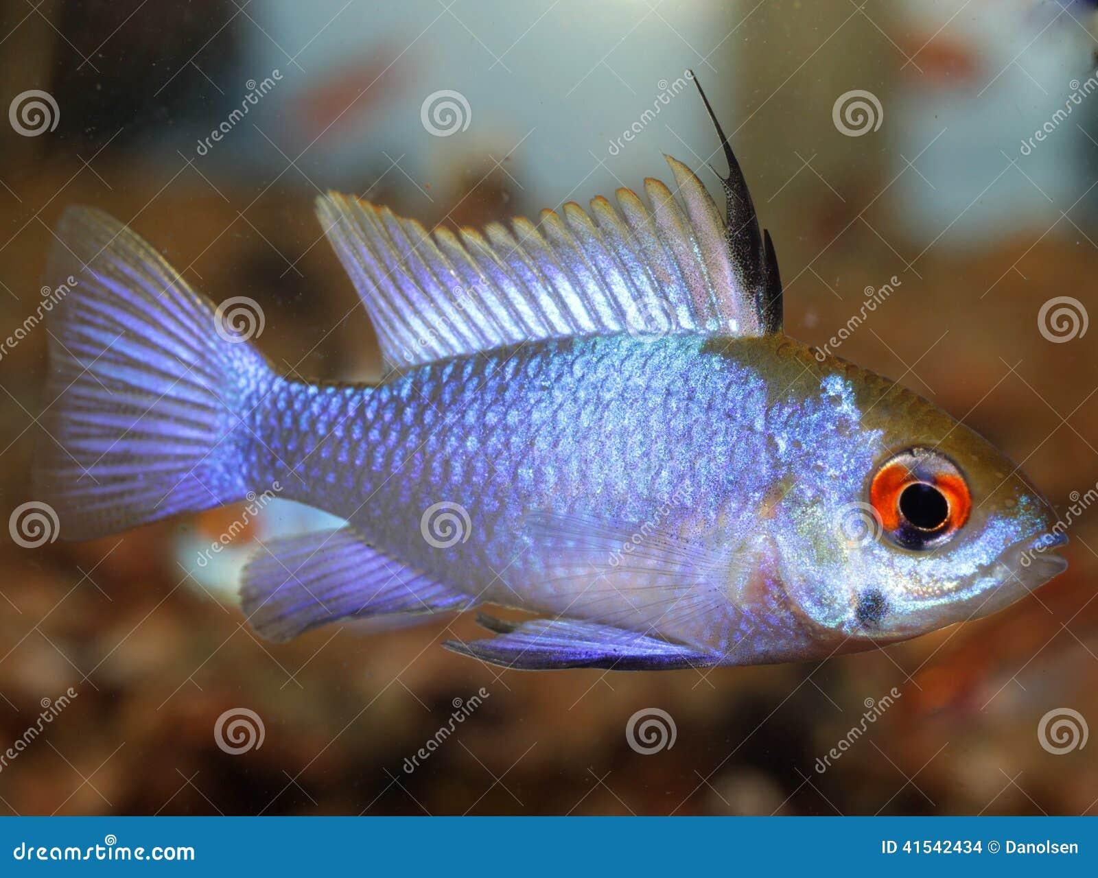 Freshwater fish hobby - Mikrogeophagus Ramirezi