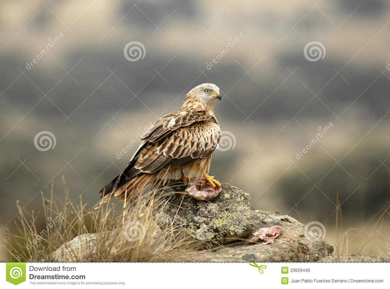 Eagle eating meat - photo#16