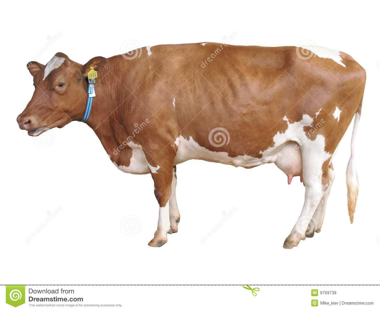 Milch cow isolated on white