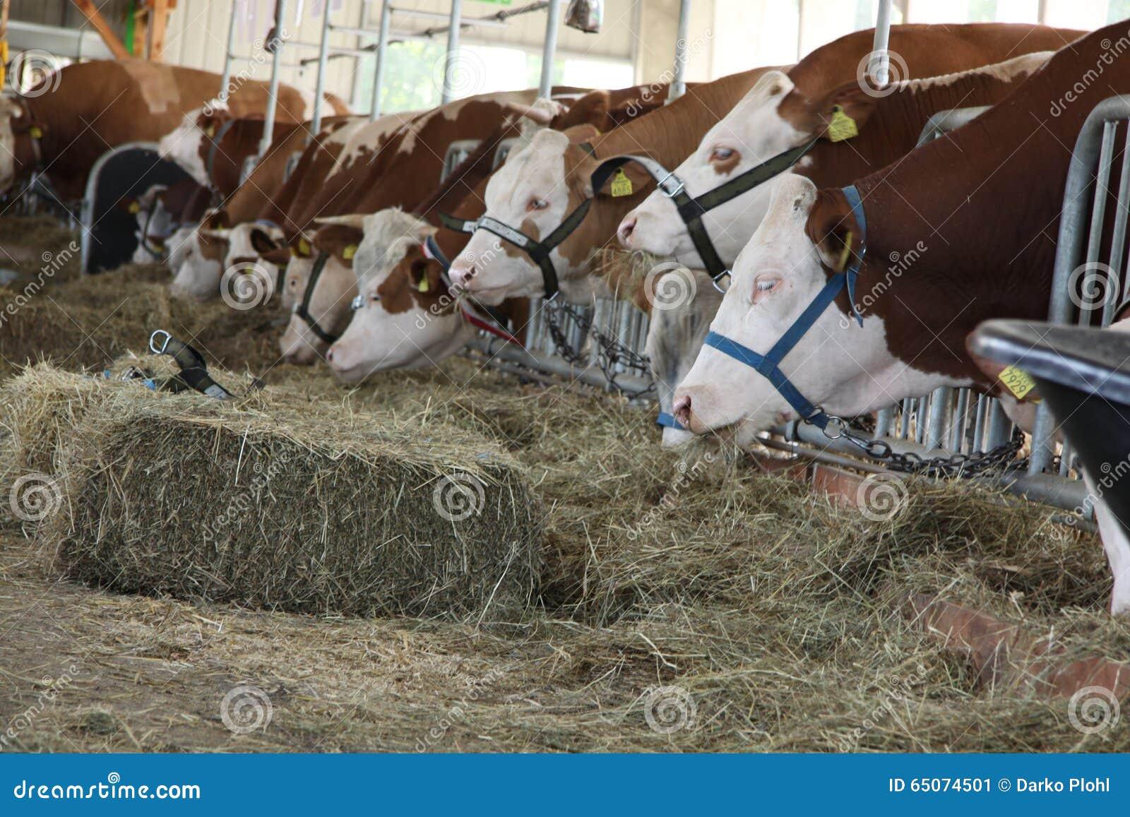 Milchkühe in der Scheune