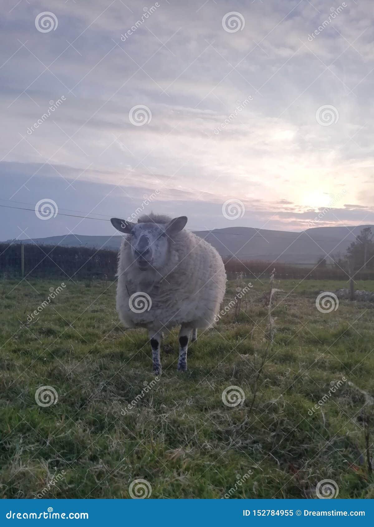 Miley mijn schapen!