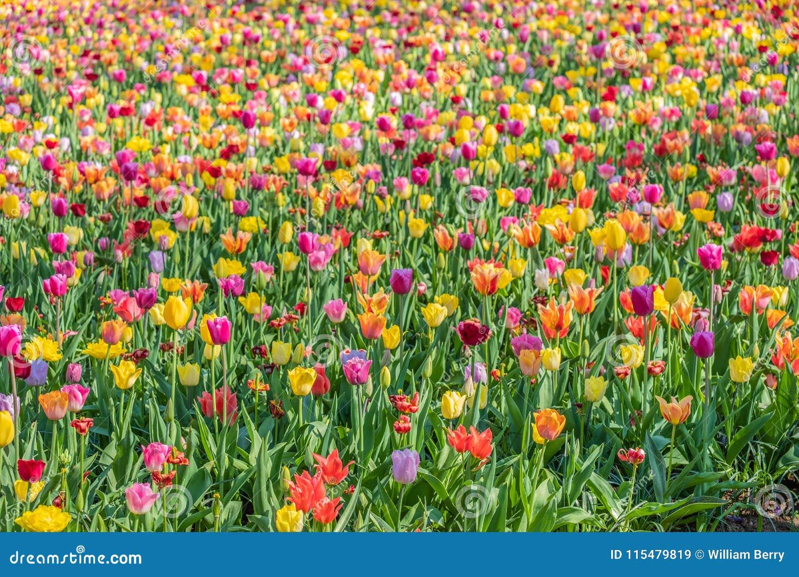 Milhares de tulipas