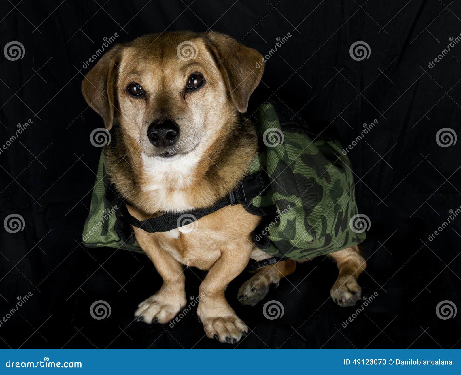 Militarny pracujący pies