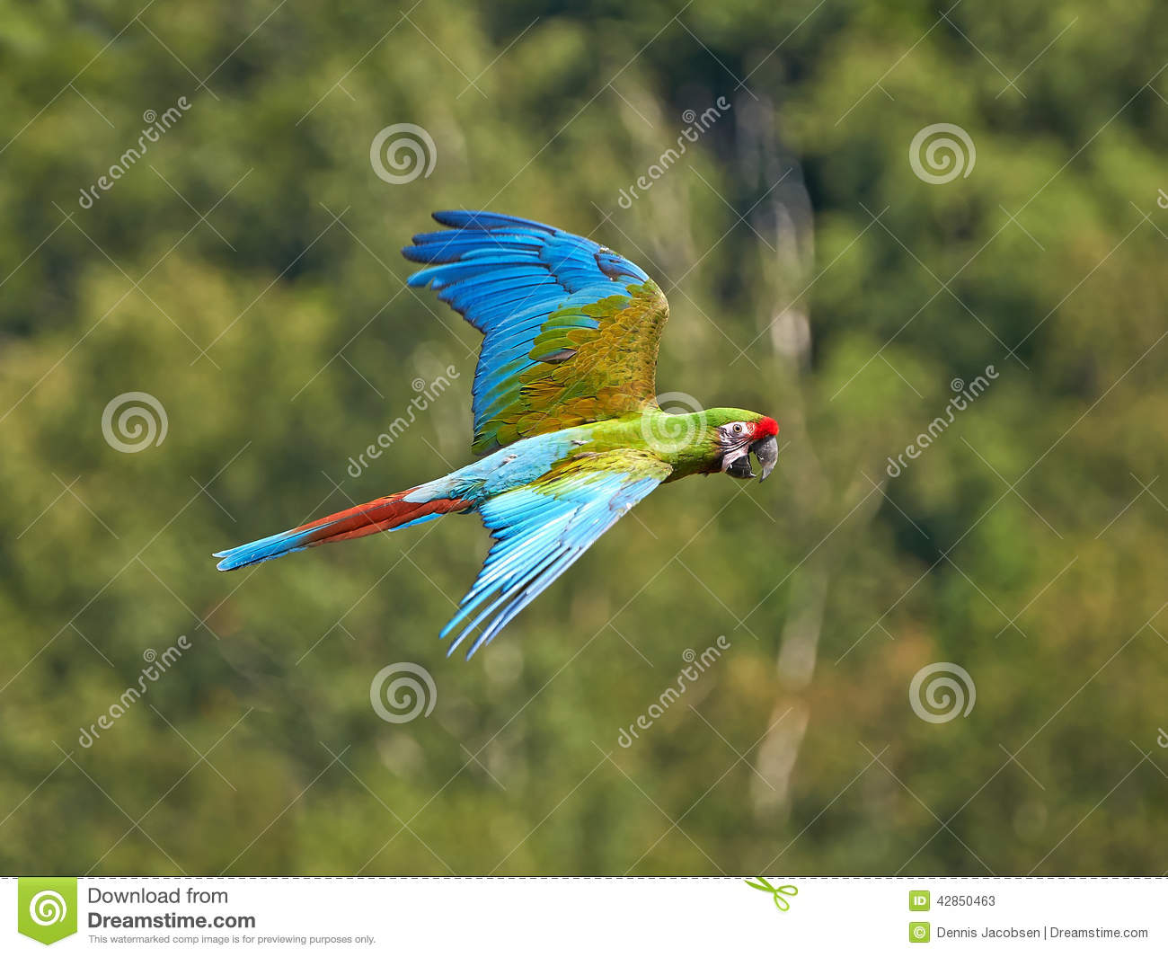 Military Macaw (Ara Militaris) Stock Photo - Image: 42850463