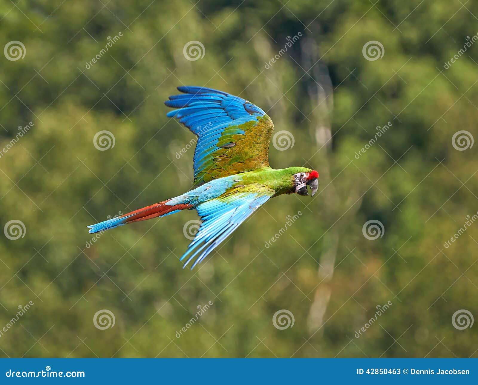 Military Macaw (Ara Militaris) Stock Photo - Image: 42850463