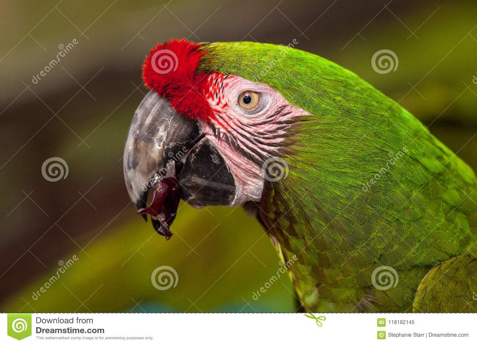 Military macaw bird Ara militaris