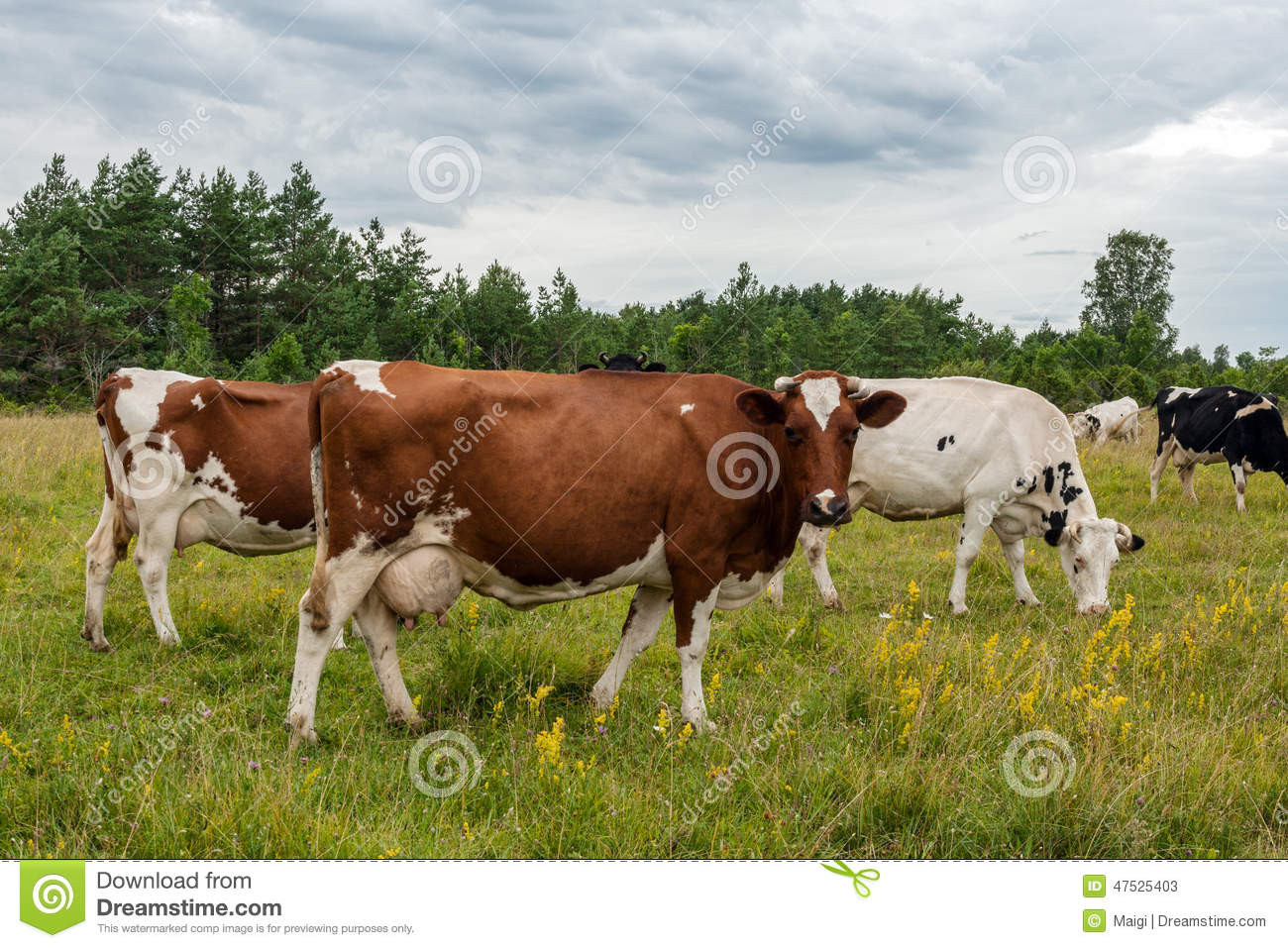 Download Milk Cows on Pasture Land stock image. Image of pasture - 47525403