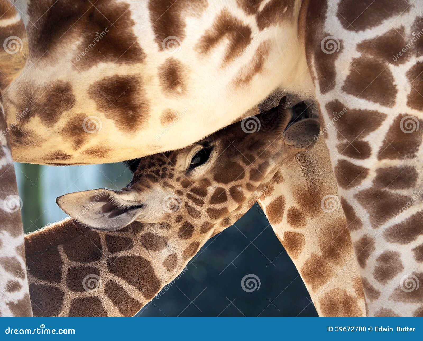 Milk drinking baby giraffe
