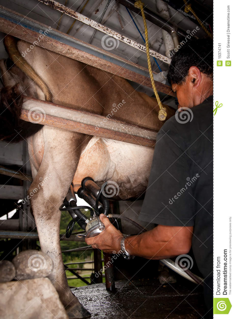 Milking machine drawing from udder on dairy cow in Costa Rica.