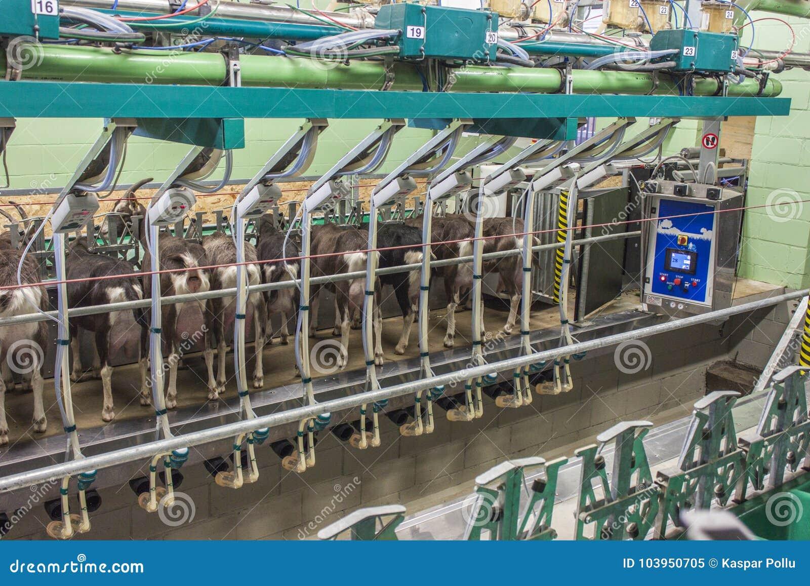 Milking robot in goatfarm