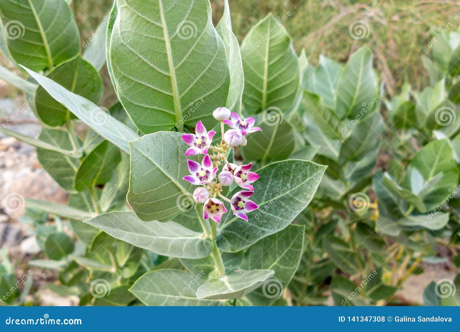 Milkweed пурпурного цветка кроны гигантский индийский, gigantea Calotropis