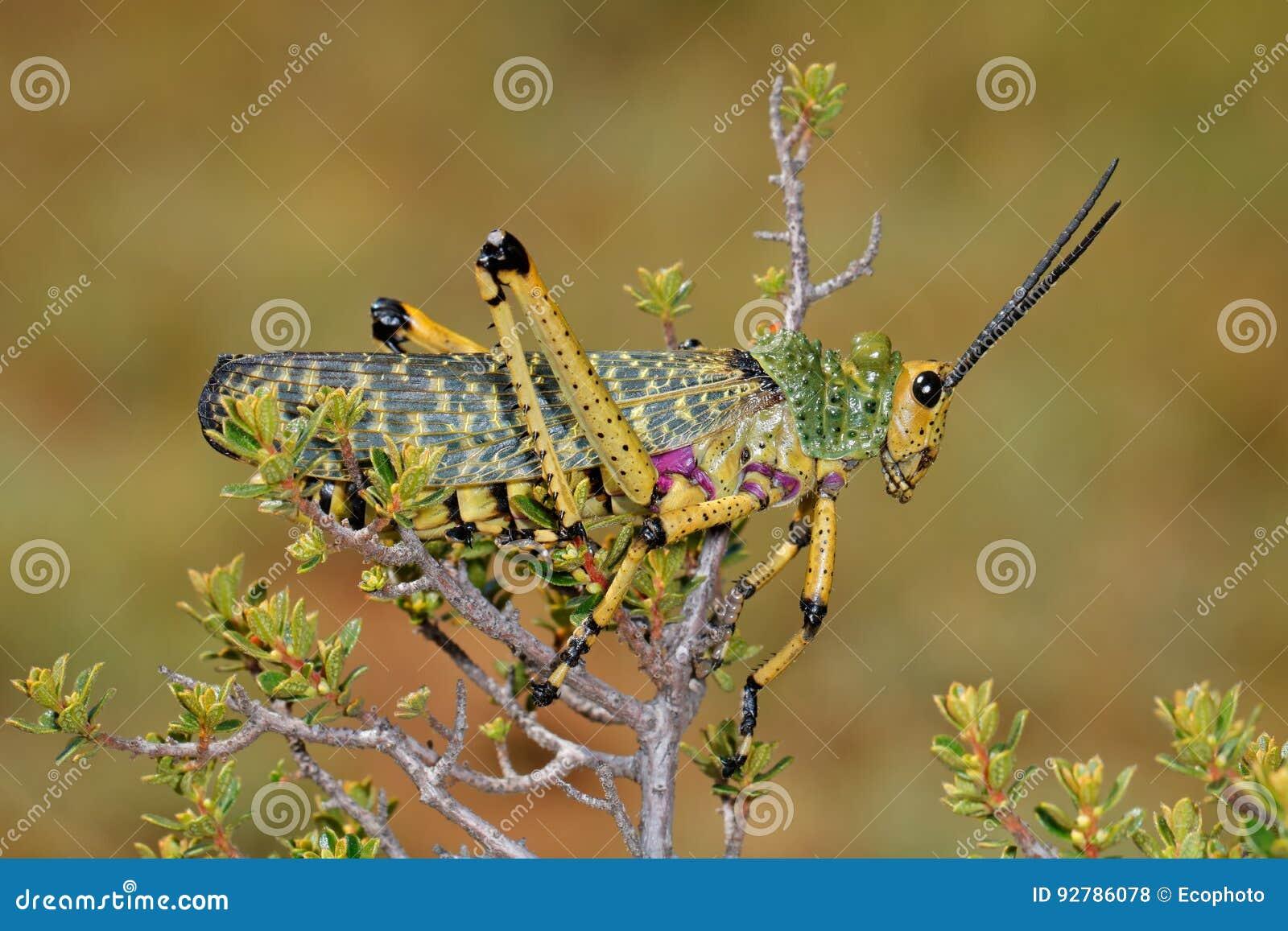 Milkweed locust on plant