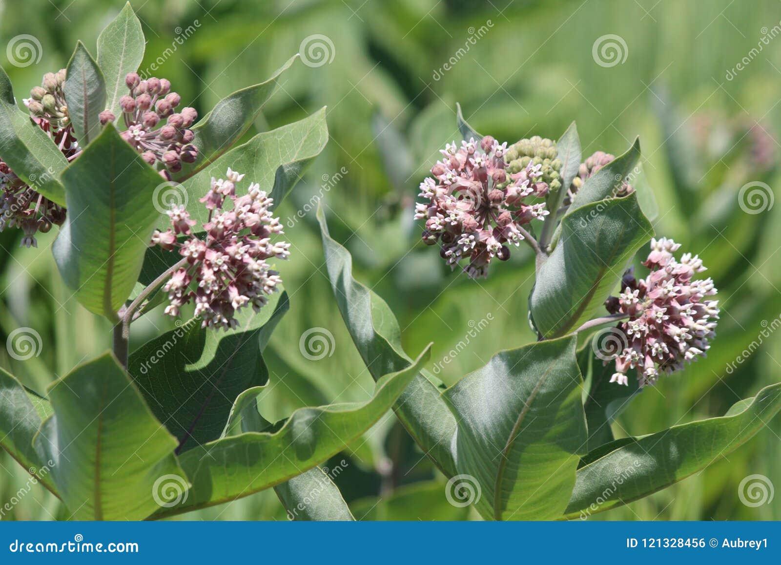 Milkweed Plant-Flowering Asclepias syriac