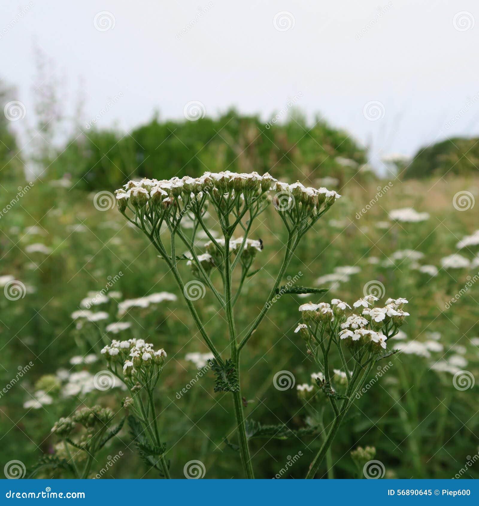 Millefolium di Achillea