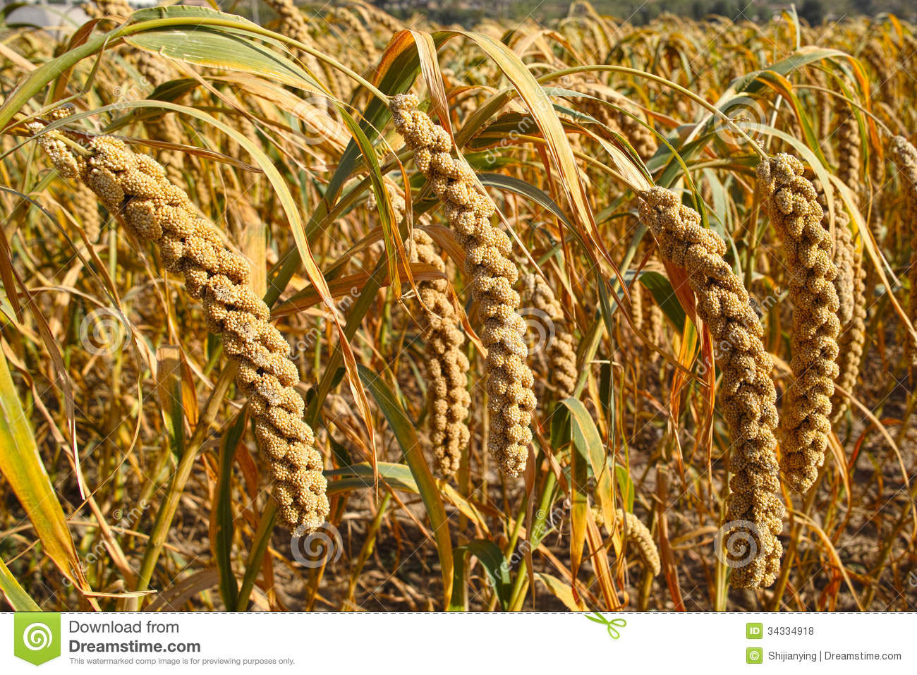 Millet Royalty Free Stock Photos - Image: 34334918: www.dreamstime.com/royalty-free-stock-photos-millet-close-up-mature...