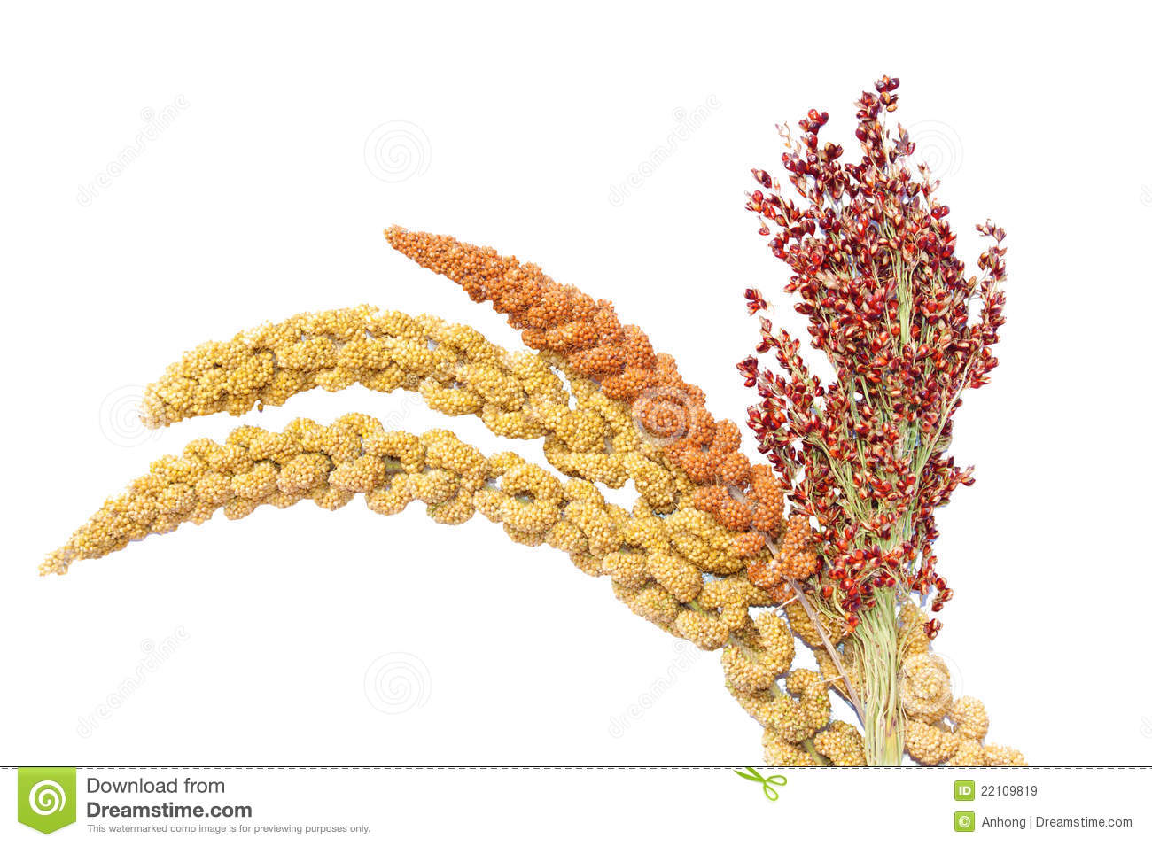 millet and sorghum royalty free stock images image 22109819 french fries clipart french fries clip art transparent
