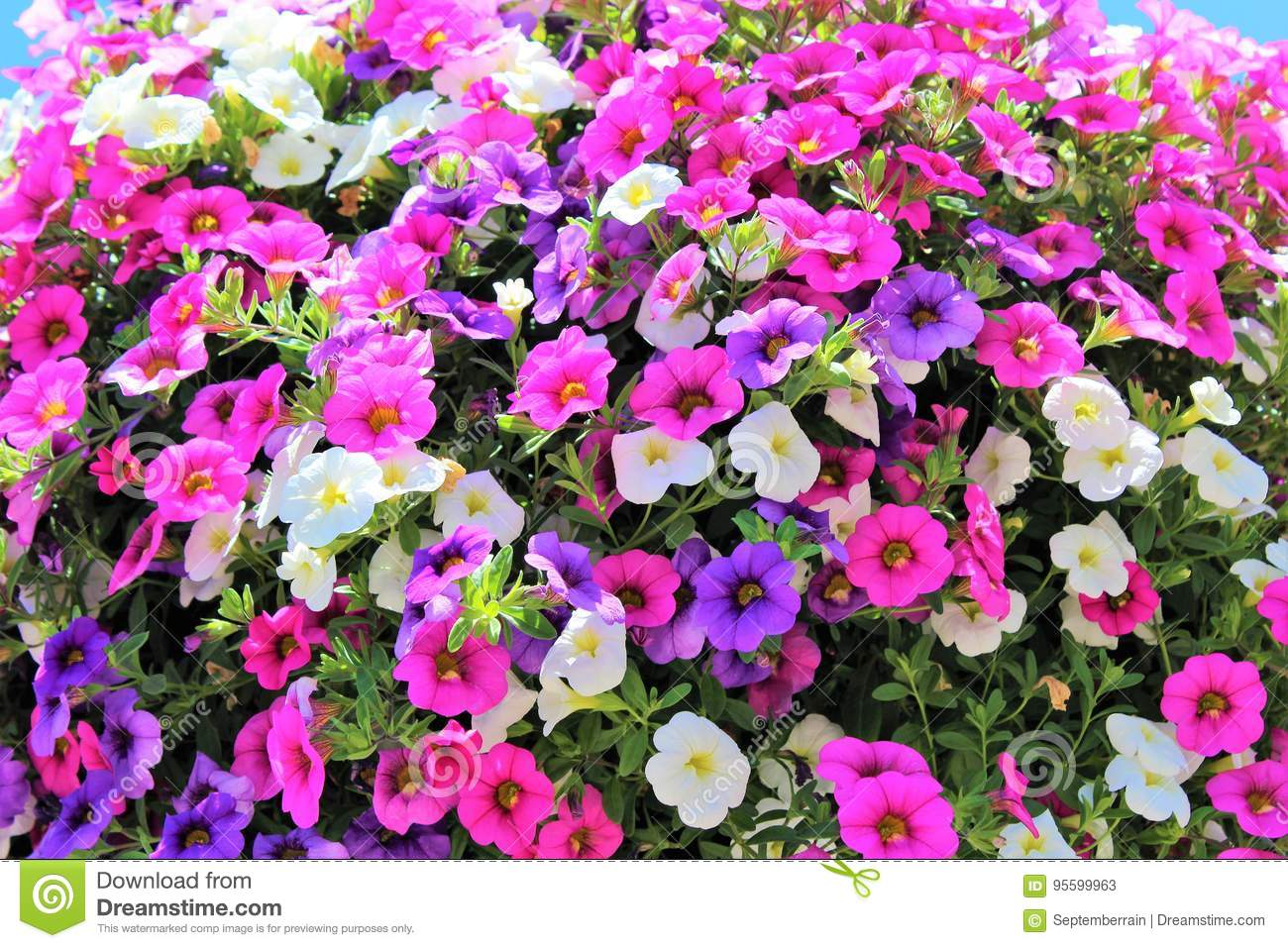 Million Bells Bloom In Multiple Colors In A Hanging Basket Stock