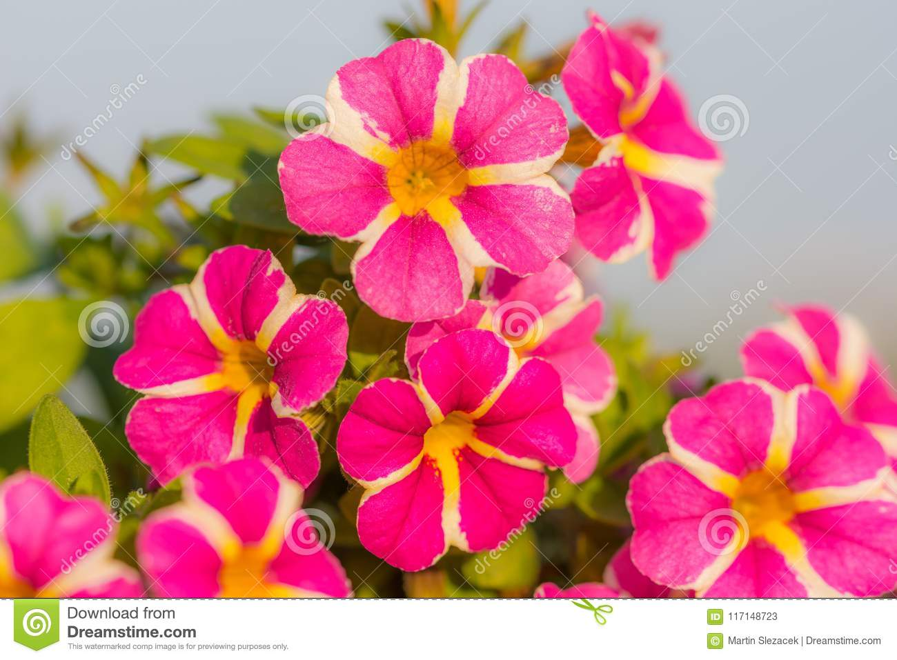 Million Bells Flower Detail. Summer Red And Purple Blooms. Beautiful ...