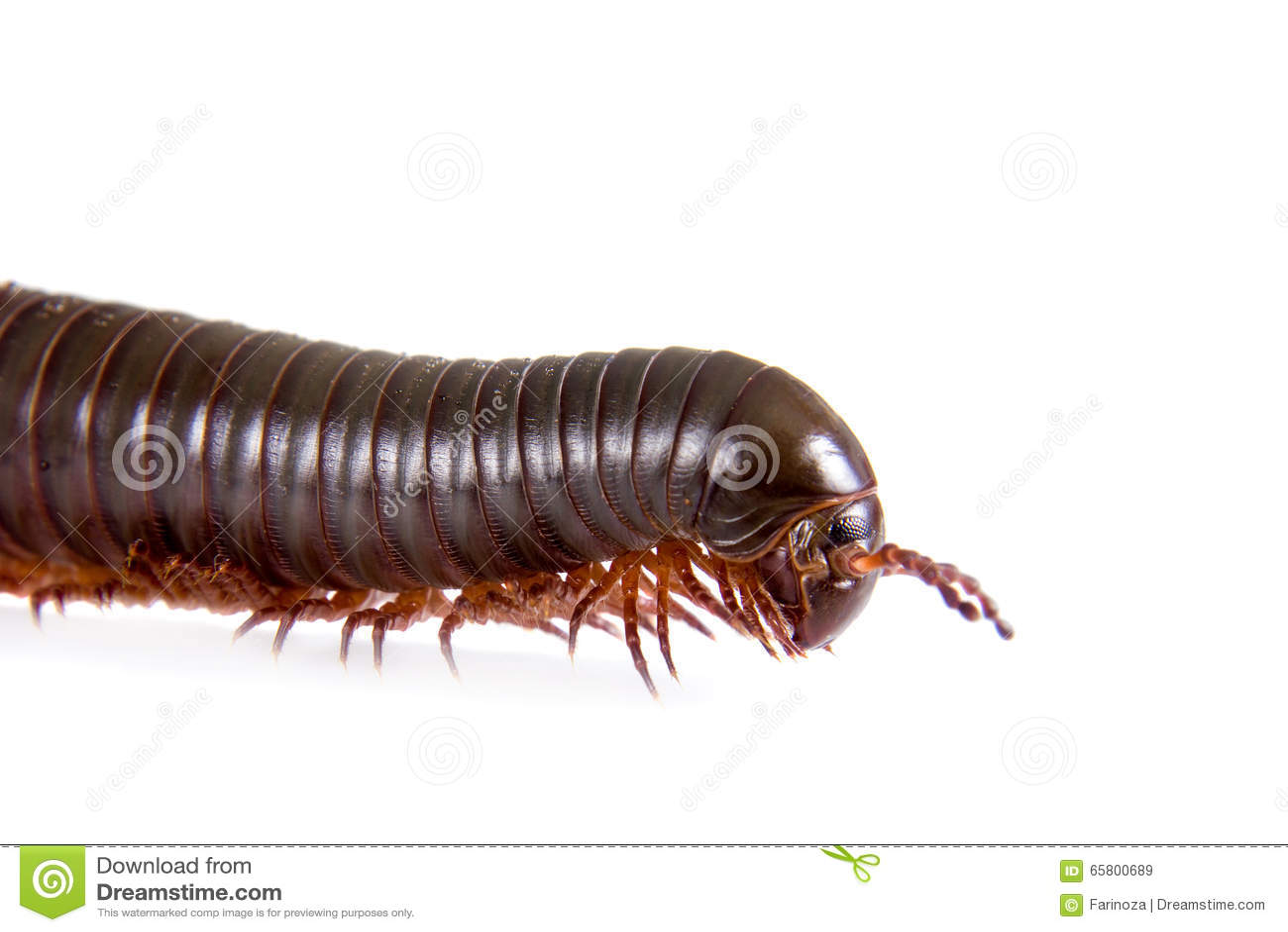 Millipede, Myriapoda στο λευκό
