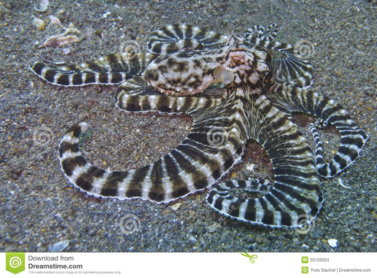 Padre Burgos Philippines  city photos gallery : Mimic Octopus, Sogod Bay, Padre Burgos, Leyte, Philippines, Asia Stock ...