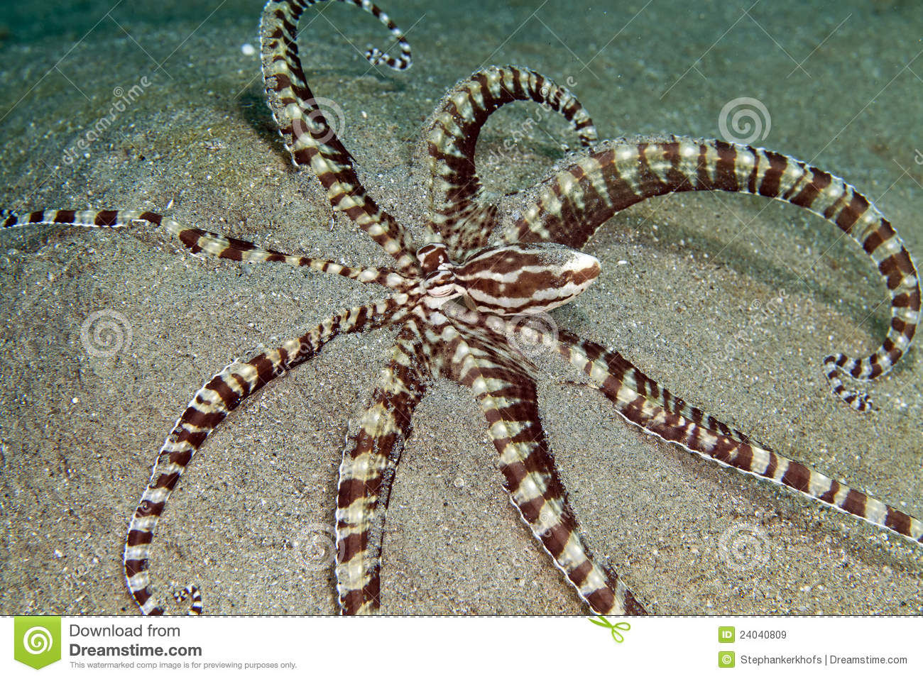 Mimic octopus (thaumoctopus mimicus) in the Red Sea.