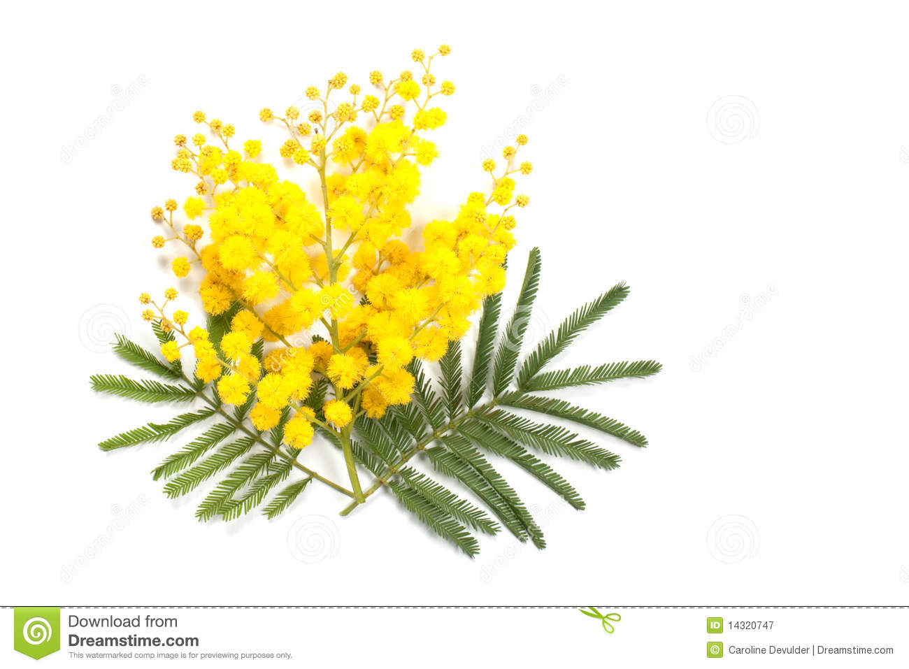 mimosa branch stock image image of fragrant  flower free march clipart calendar 2018 templates free march clip art images