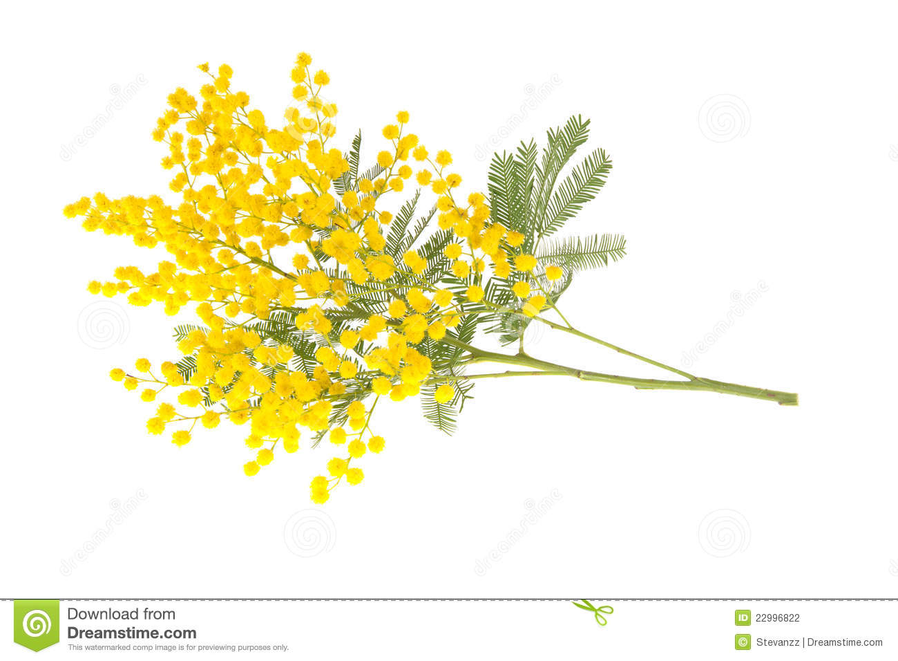 Mimosa Branch Isolated On White Stock Photography - Image ...