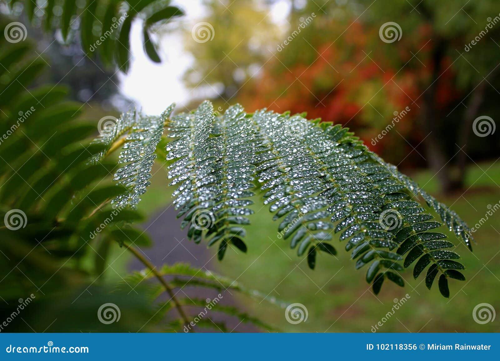 Mimosa in de Herfst