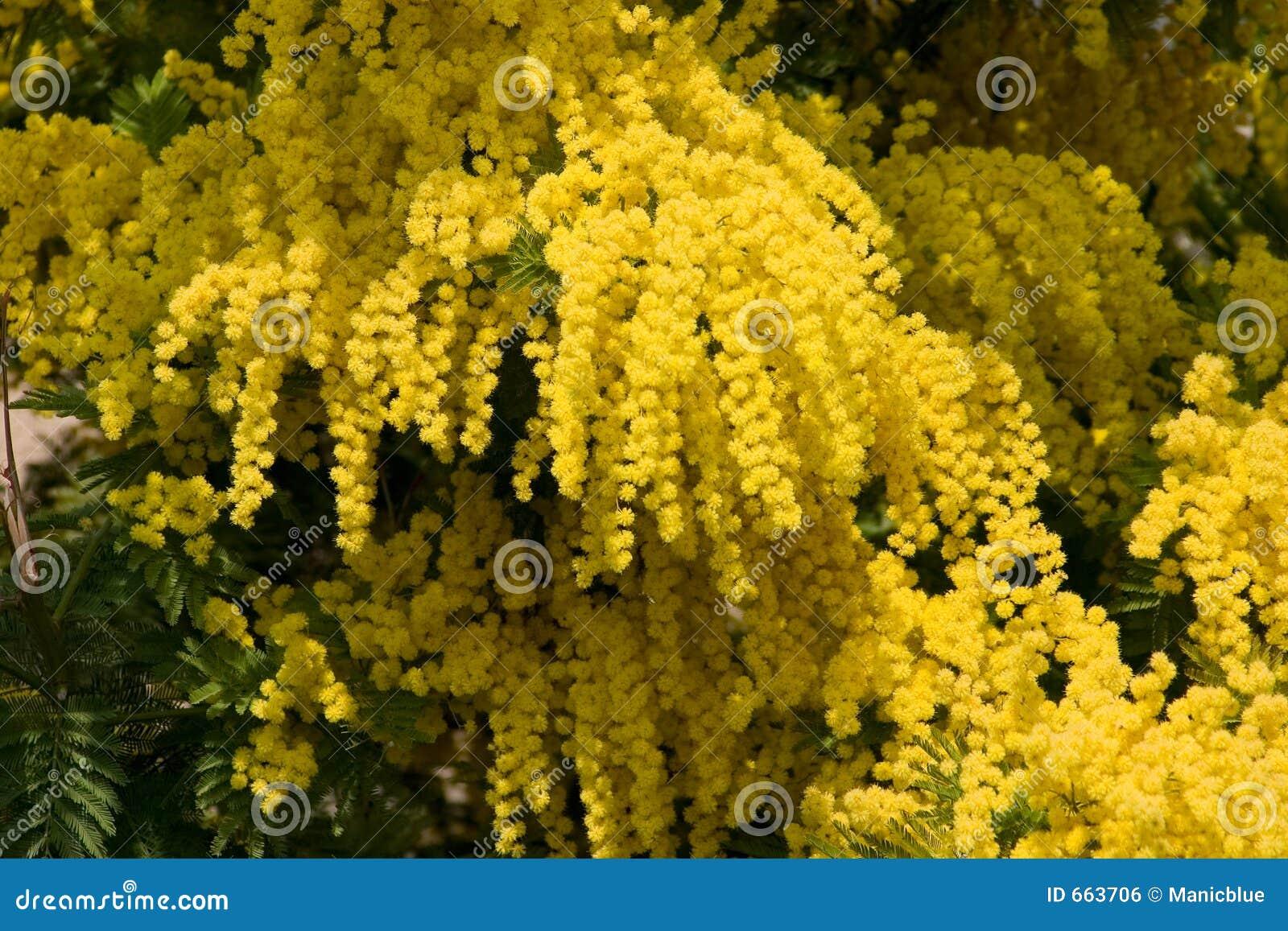 mimosa jaune photo stock image du nature jaune arbuste 663706. Black Bedroom Furniture Sets. Home Design Ideas