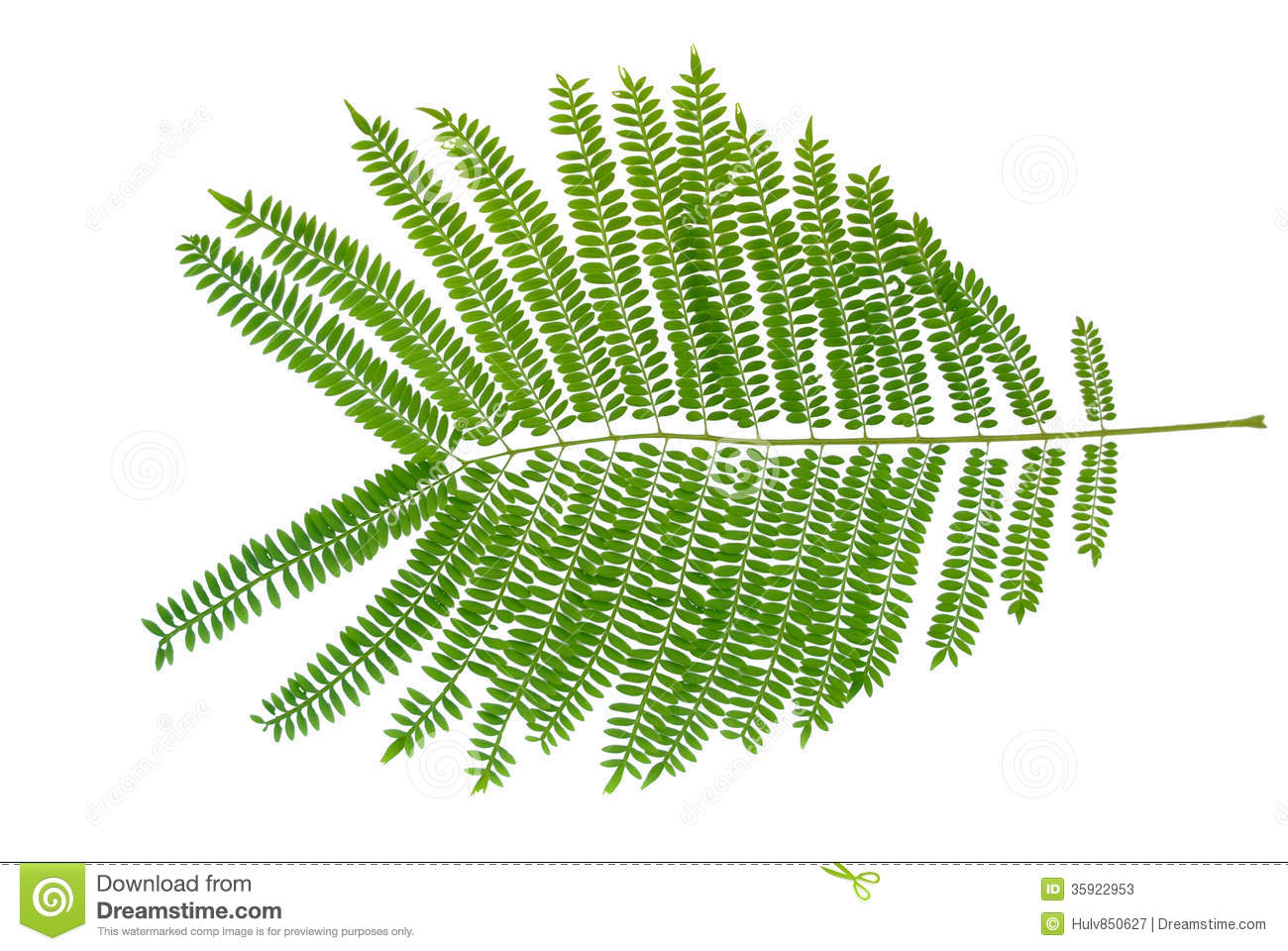Mimosa Leaves Stock Image Image Of Acacia Garden Albizzia 35922953
