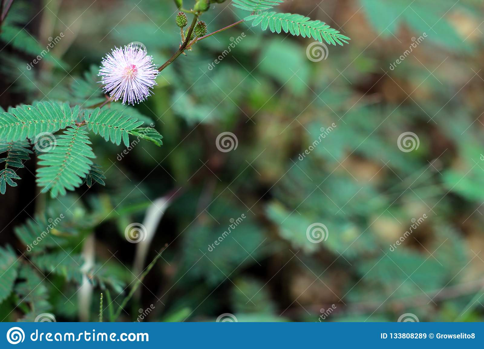Sensitive Plant pink Mimosa flower in summer