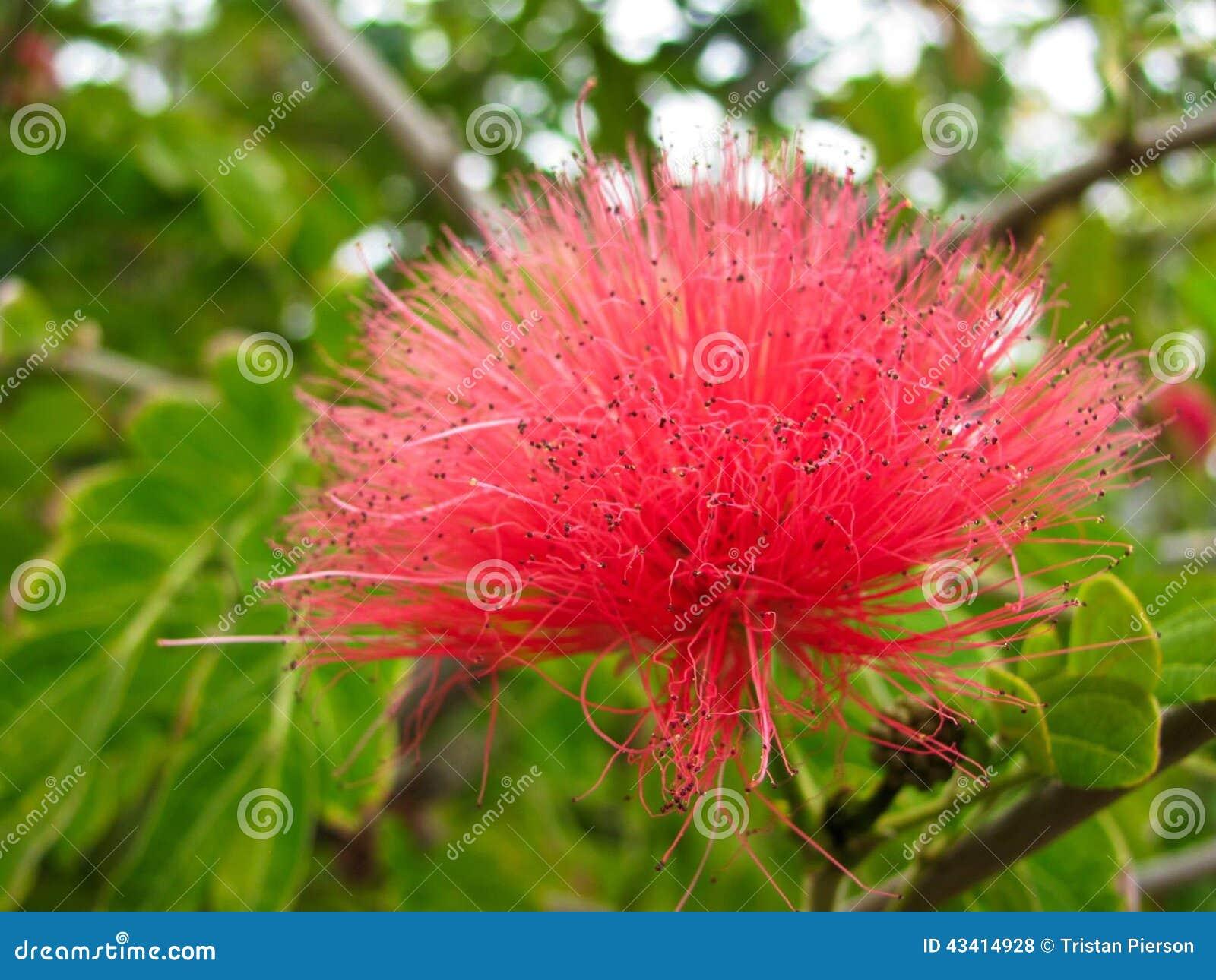 Mimosa rossa fotografia stock immagine 43414928 for Formas ornamentales