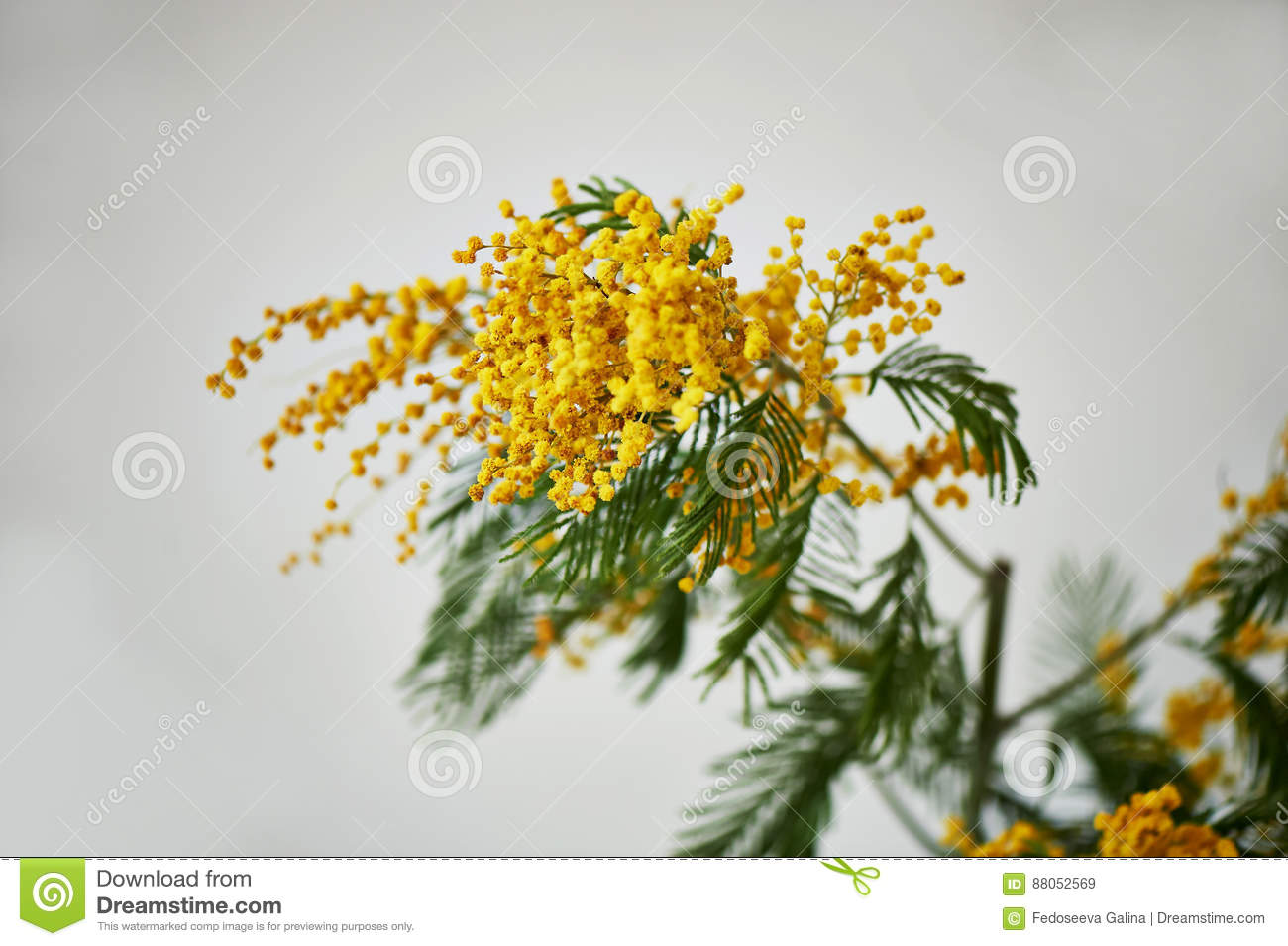 Mimosa A Symbol Of Womens Day And The Awakening Of Nature After