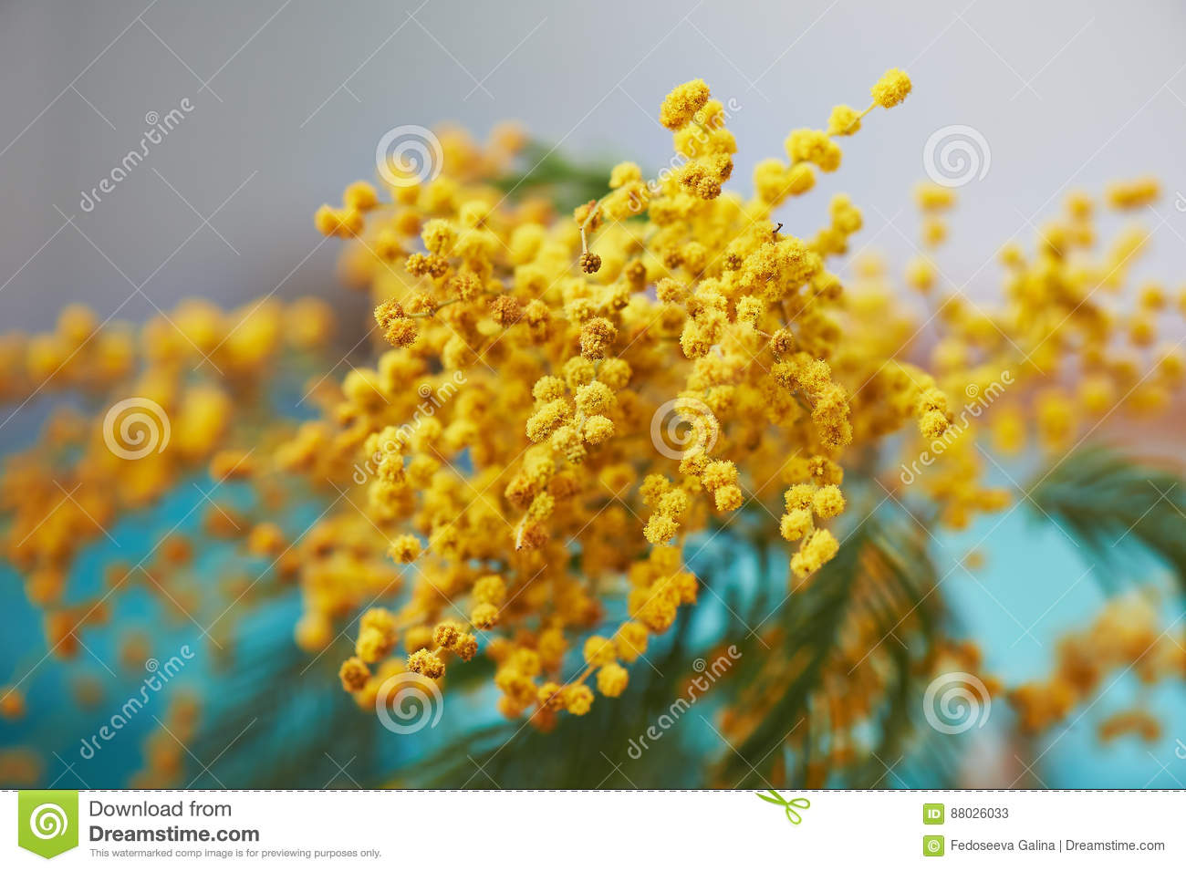 Mimosa, a symbol of women`s day and the awakening of spring. On turquoise background
