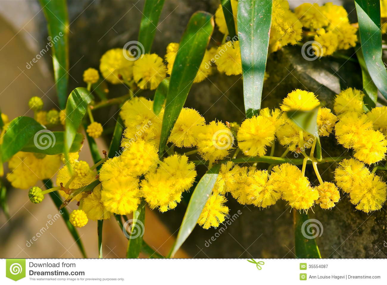 Mimosa tree stock image image of vegetation detail 35554087 - Trees that bloom yellow flowers ...