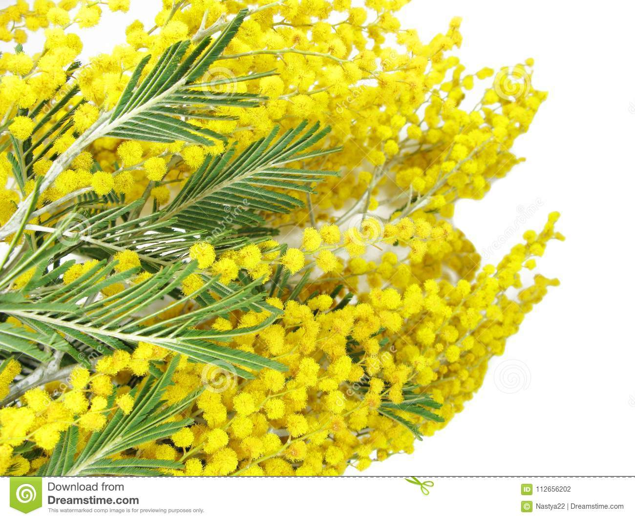 Mimosa yellow bush spring floral background 8 march card stock photo mimosa yellow bush spring floral background 8 march card mightylinksfo