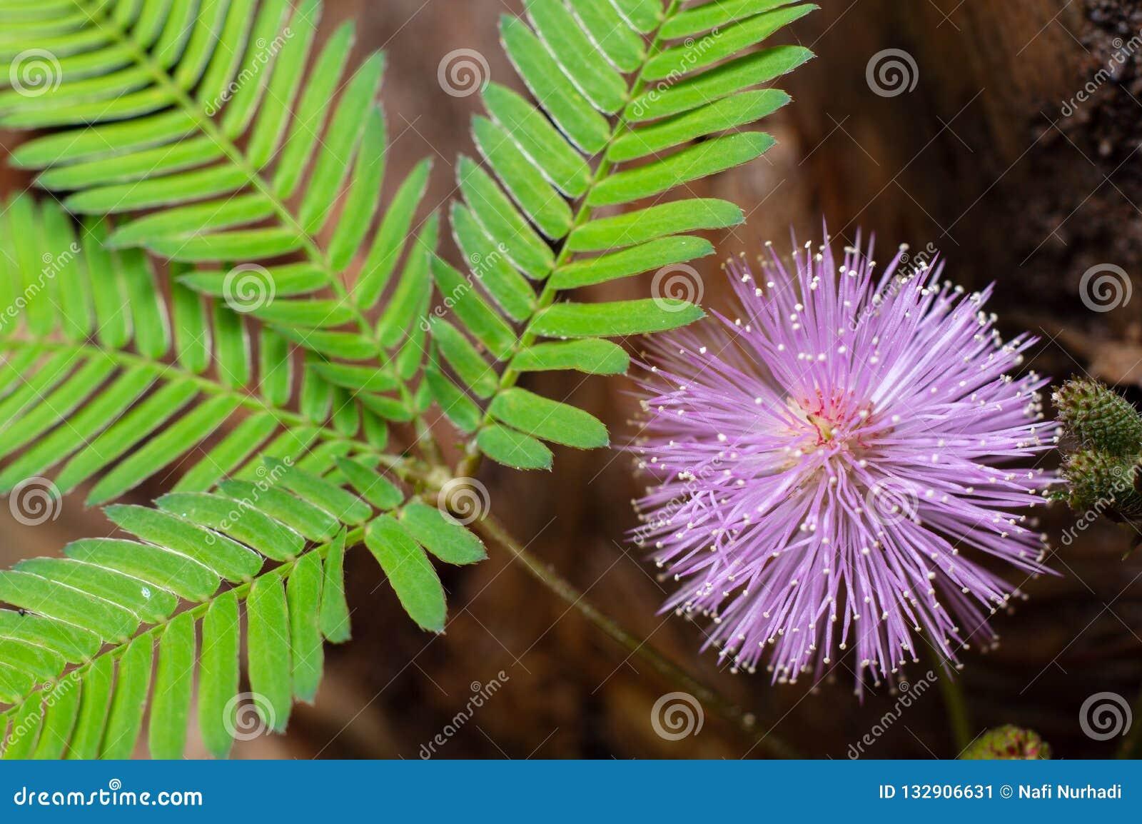 Mimose pudica, das Köpfchen und Blätter zeigt