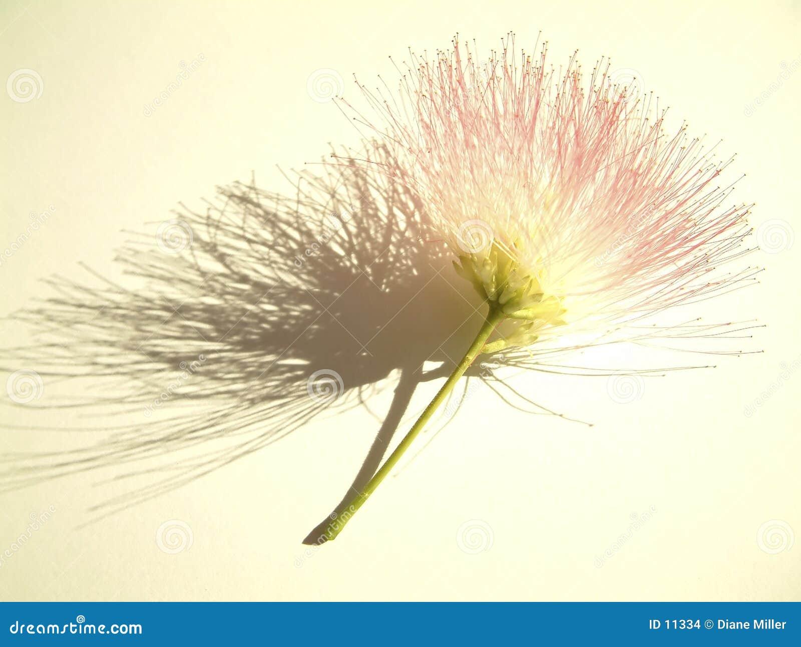 Mimoseblüte