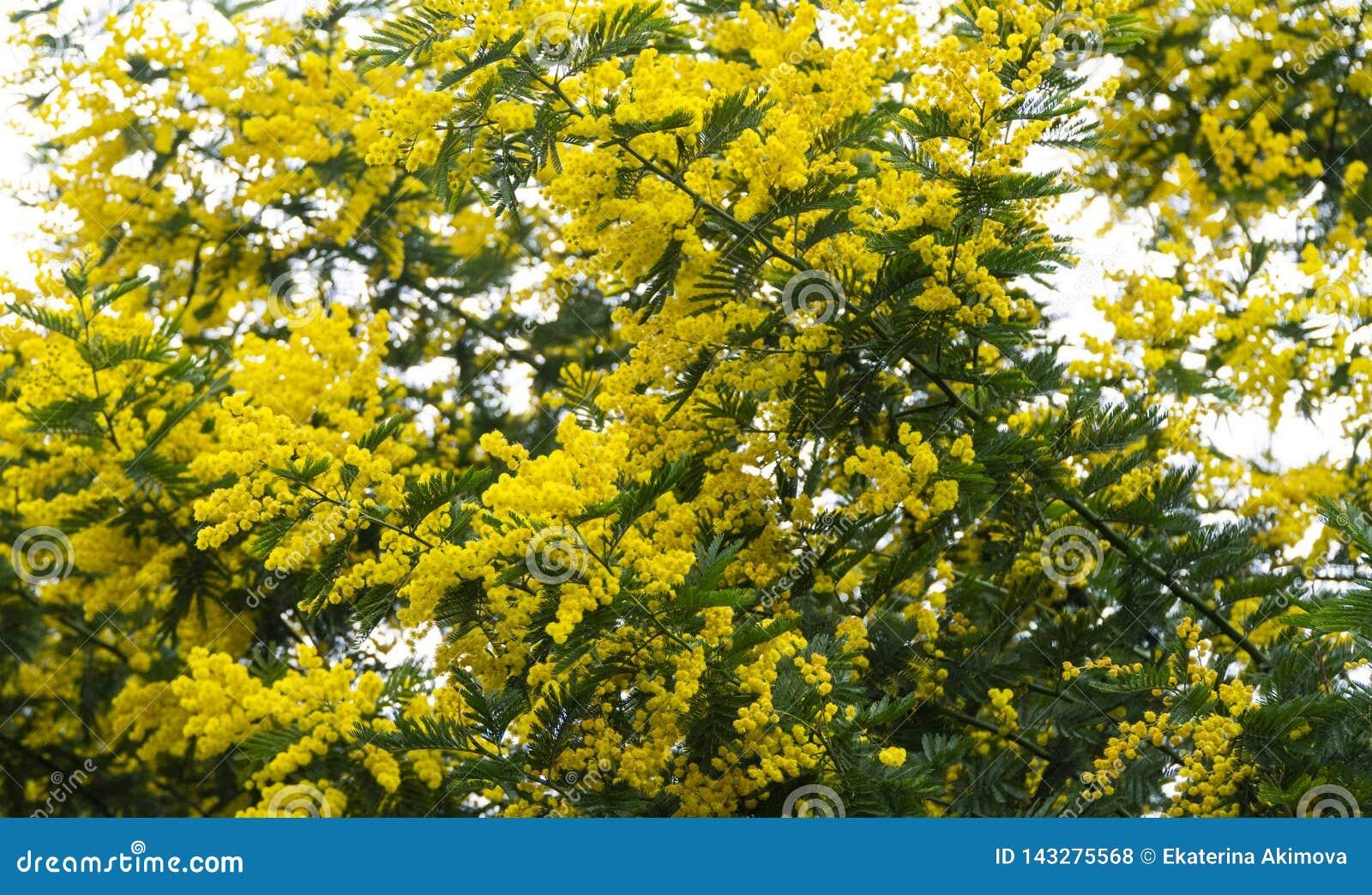 Mimozy drzewo kwitnie jaskrawego żółtego wakacje