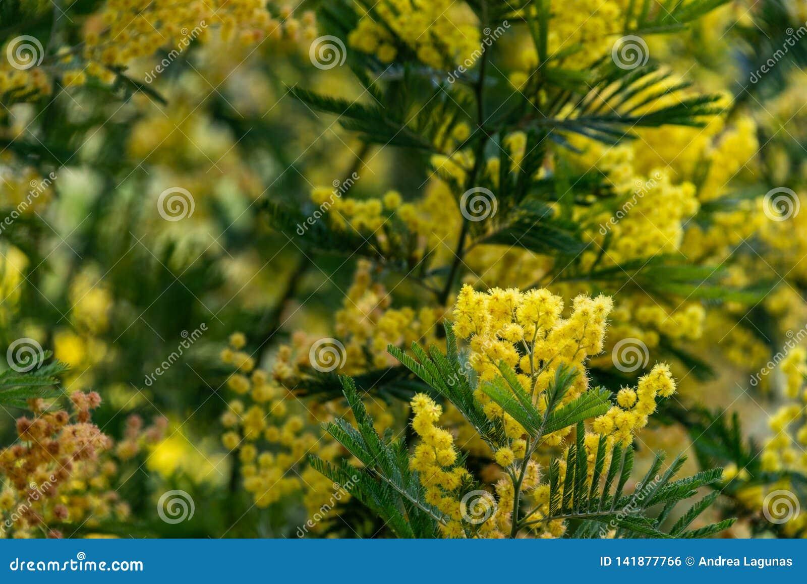 Mimozy drzewo z żółtymi kwiatami