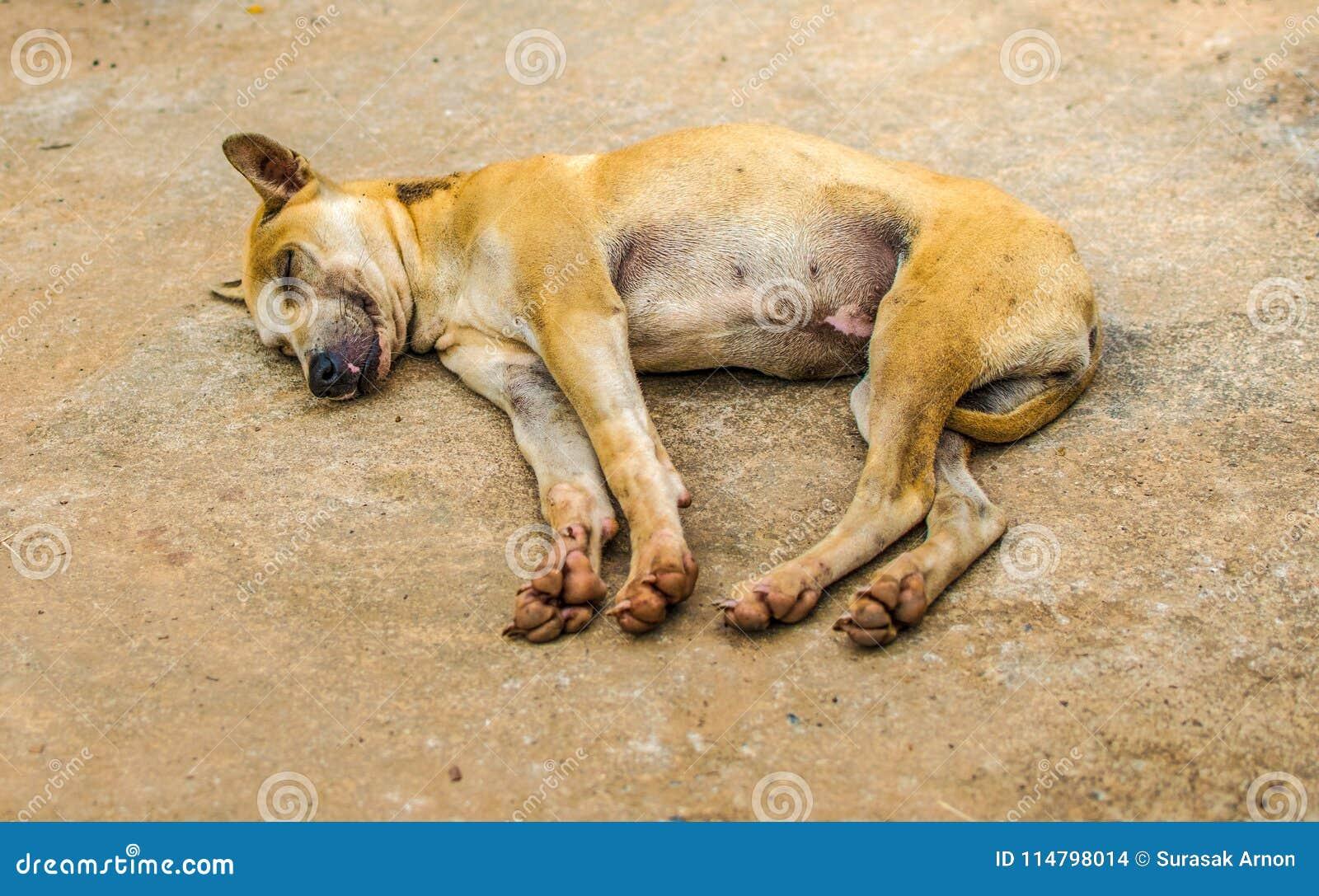Min hund är apelsin-brunt Sover lyckligt