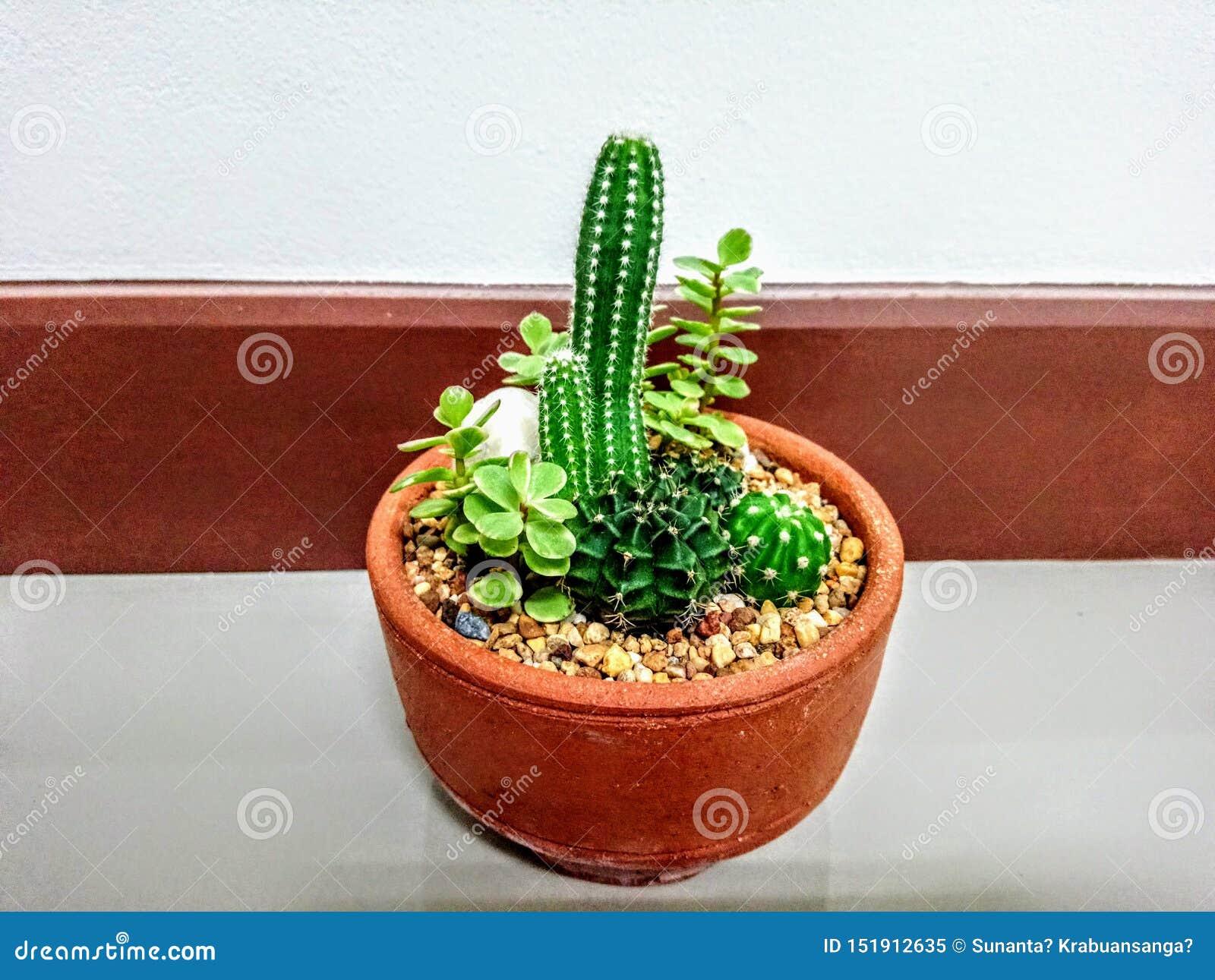 Min kaktus