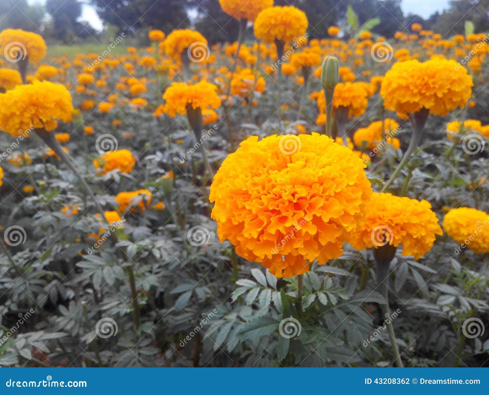 Download Min marigoko arkivfoto. Bild av yellow, trädgård, park - 43208362